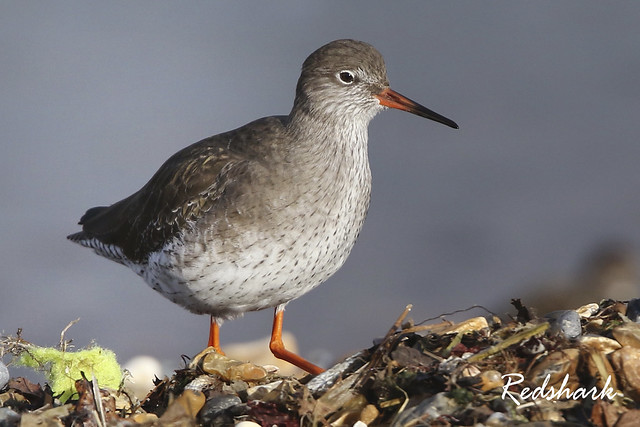 REDSHANK  /  TRINGA  TOTANUS., Canon EOS 7D MARK II, Canon EF 400mm f/4 DO IS