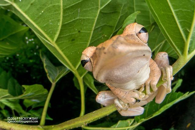Four-lined tree frog (Polypedates leucomystax) - DSC_9832