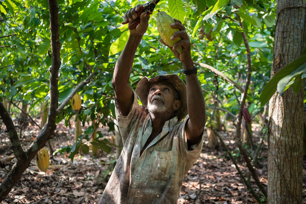 Jose cuts cacao pods from the tree