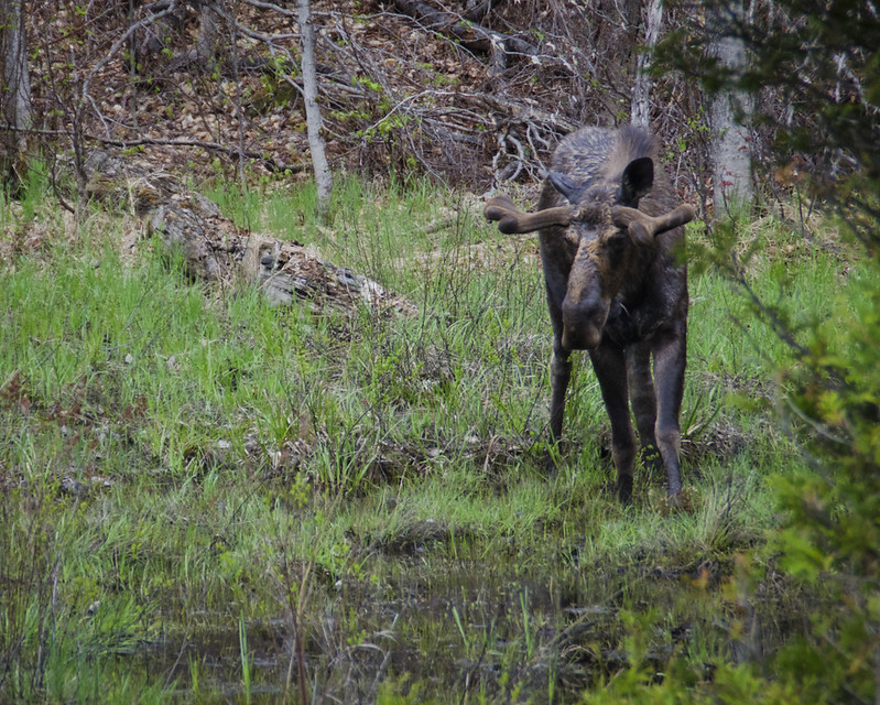 Moose at Algonquin Park