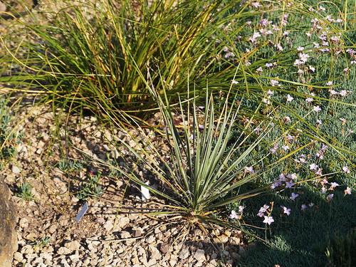 Yucca constricta Buckley 1863 'Odessa, TX'