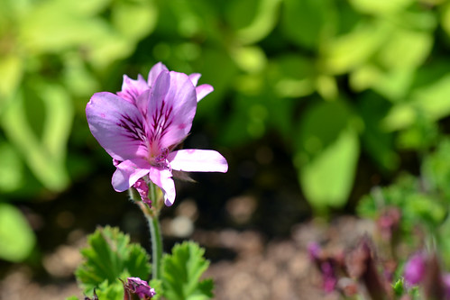 Apple-scented Geranium