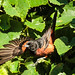 male Orchard Oriole by Rebecca Wolff