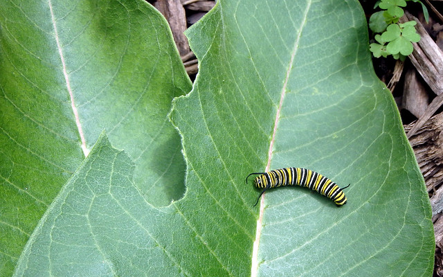 monarch caterpillar on a chewed milkweed leaf on the ground