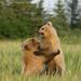 Coastal brown bear cubs by Greg Morgan wildlife