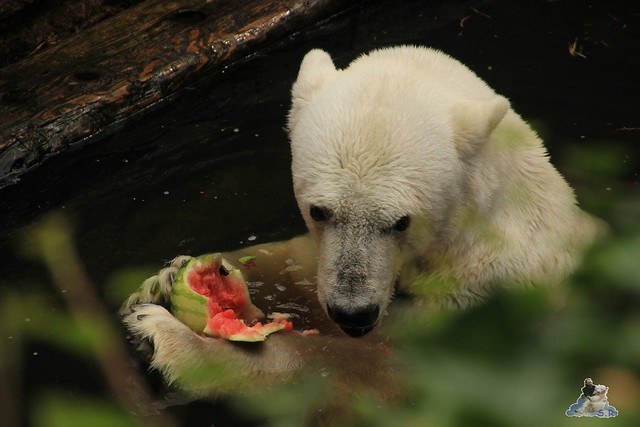 Eisbär Fiete im Zoo Rostock 12.07.2015 075