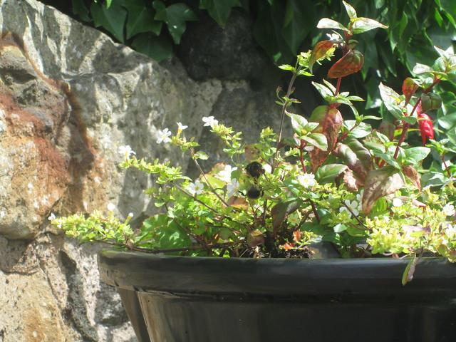 bees in Aberdour