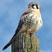2012-03-21 American Kestrel (03) (1024x680) by -jon