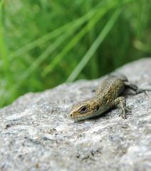 Common lizard // Zootoca vivipara