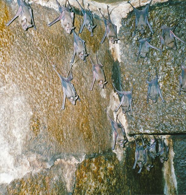 Mouse-tailed bat (Rhinopoma sp.), Humayun's Tomb, Delhi
