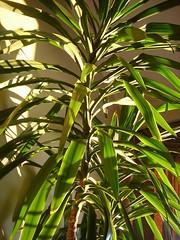 leaf, ti plant, plant, flora, plant stem,