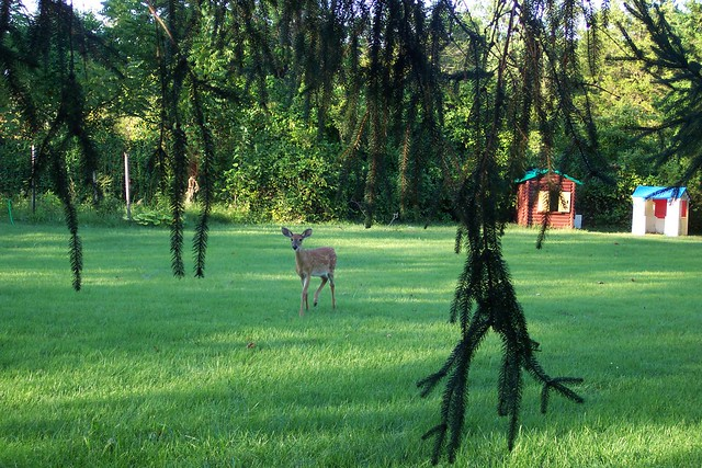 whitetail deer fawn in backyard flickr photo sharing