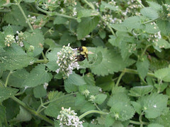 annual plant, shrub, flower, plant, urtica,