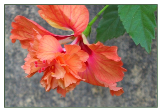 Flowers Name 25 Awesome Hibiscus Flower Name In Sanskrit