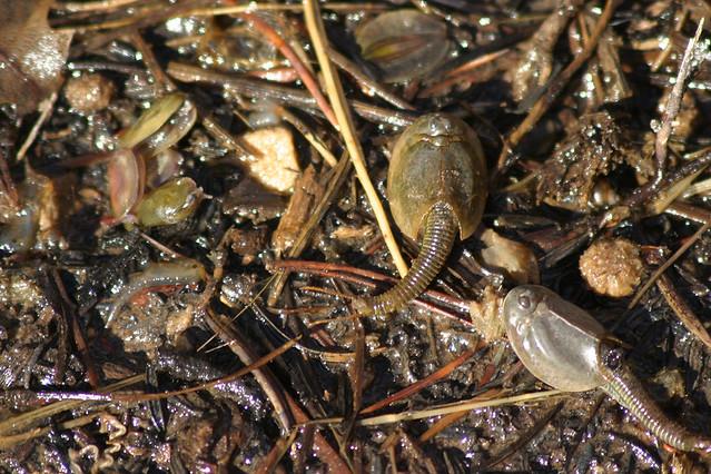desert shrimp,wikipedia shrimp,tadpole wikipedia,journey of a tadpole ...