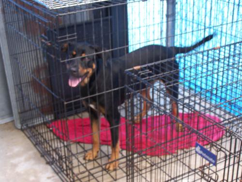 Pitbull Pinscher Mix
