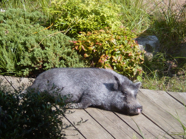 Pig Pig
