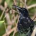 Paradise Riflebird (male) by petefeats
