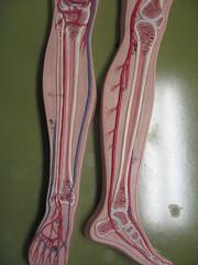 Blood Vessel Model 10