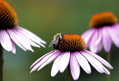 flower 1025fav garden insect dof bee coneflower pollen 94points utatafeature