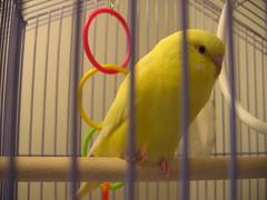atlantic canary, animal, parrot, yellow, pet, fauna, beak, bird,