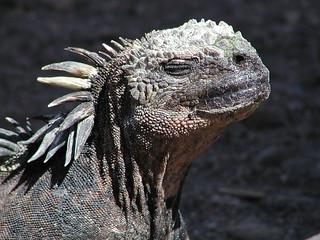 iguana of sea