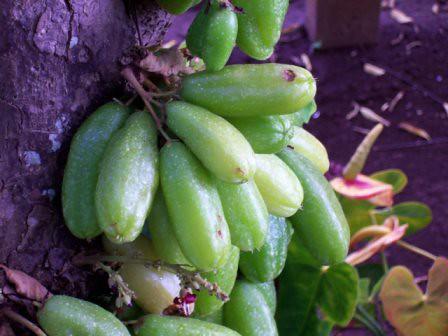 Filipino Fruits