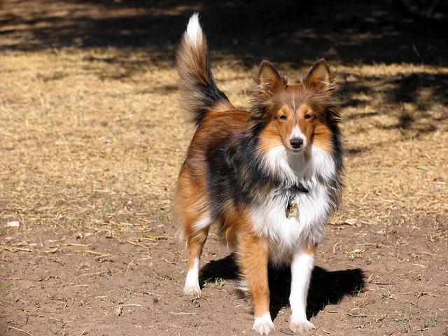 Mini Lassie