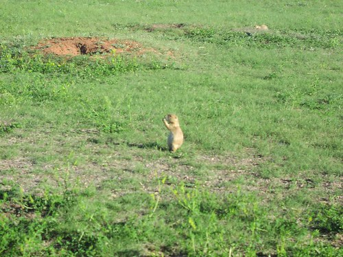 Prairie dog (Cynomys), North Dakota