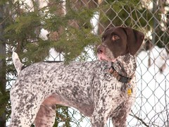 dog breed, animal, dog, pet, old danish pointer, mammal, braque francais, pointer, braque d'auvergne, german wirehaired pointer, german shorthaired pointer, hunting dog,
