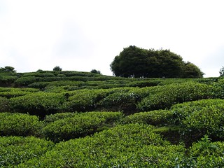 MARDI Tea Plantation