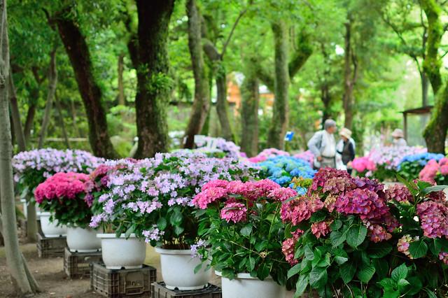 筥崎宮_あじさい苑 Hydrangea garden