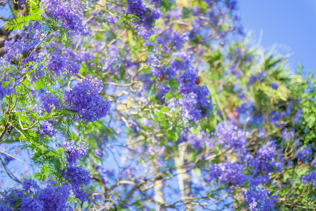 Jacaranda tree and blue sky