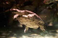 Tortoise Swimming
