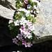 Androcace alpina (Kerrie Porteous)