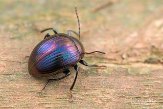 Darkling beetle (Amarygmus sp.) - DSC_0917