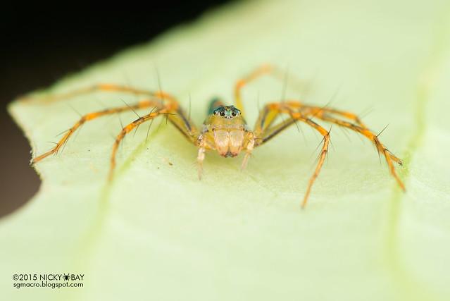 Lynx spider (Hamadruas sp.) - DSC_4924