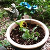 First Pansy: I started a lot of my plants from seed this year. This is my first pansy to bloom. #JJAProject