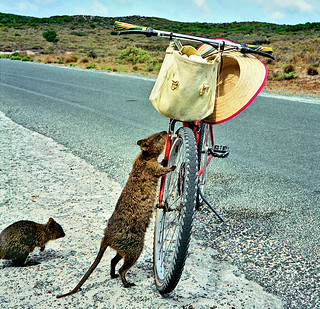 1993 - Stop thief!! Quokkas know EXACTLY where to look ...