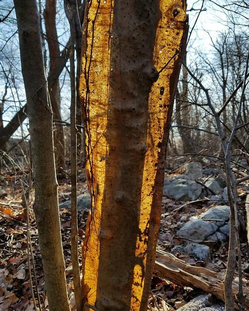 Peeling bark on dead tree