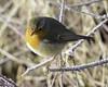 Roodborst Robin