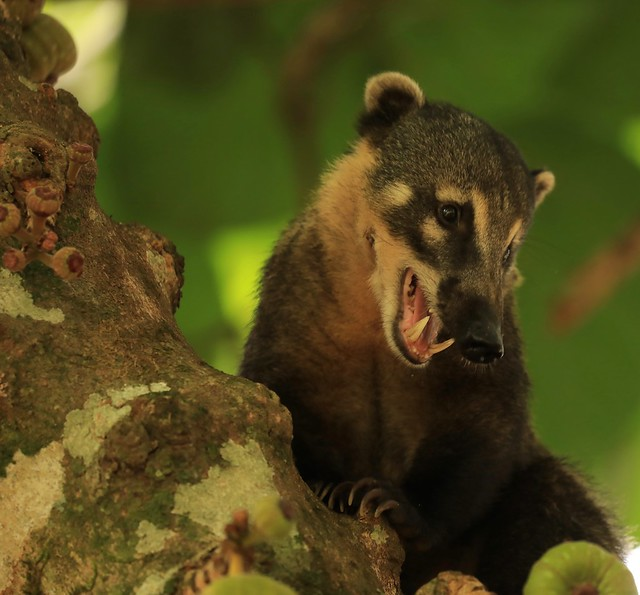 South America Coati Iguazu Falls Argentina South America