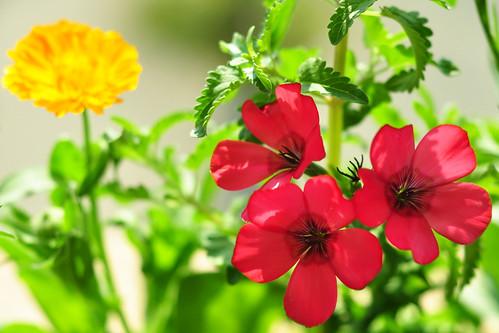 Ringelblume Calendula officinalis und Roter Lein Linum grandiflorum Balkon Balkonien Pflanzen Wildpflanzen Wildblumen Balkonkasten Juni 2015 Foto Brigitte Stolle
