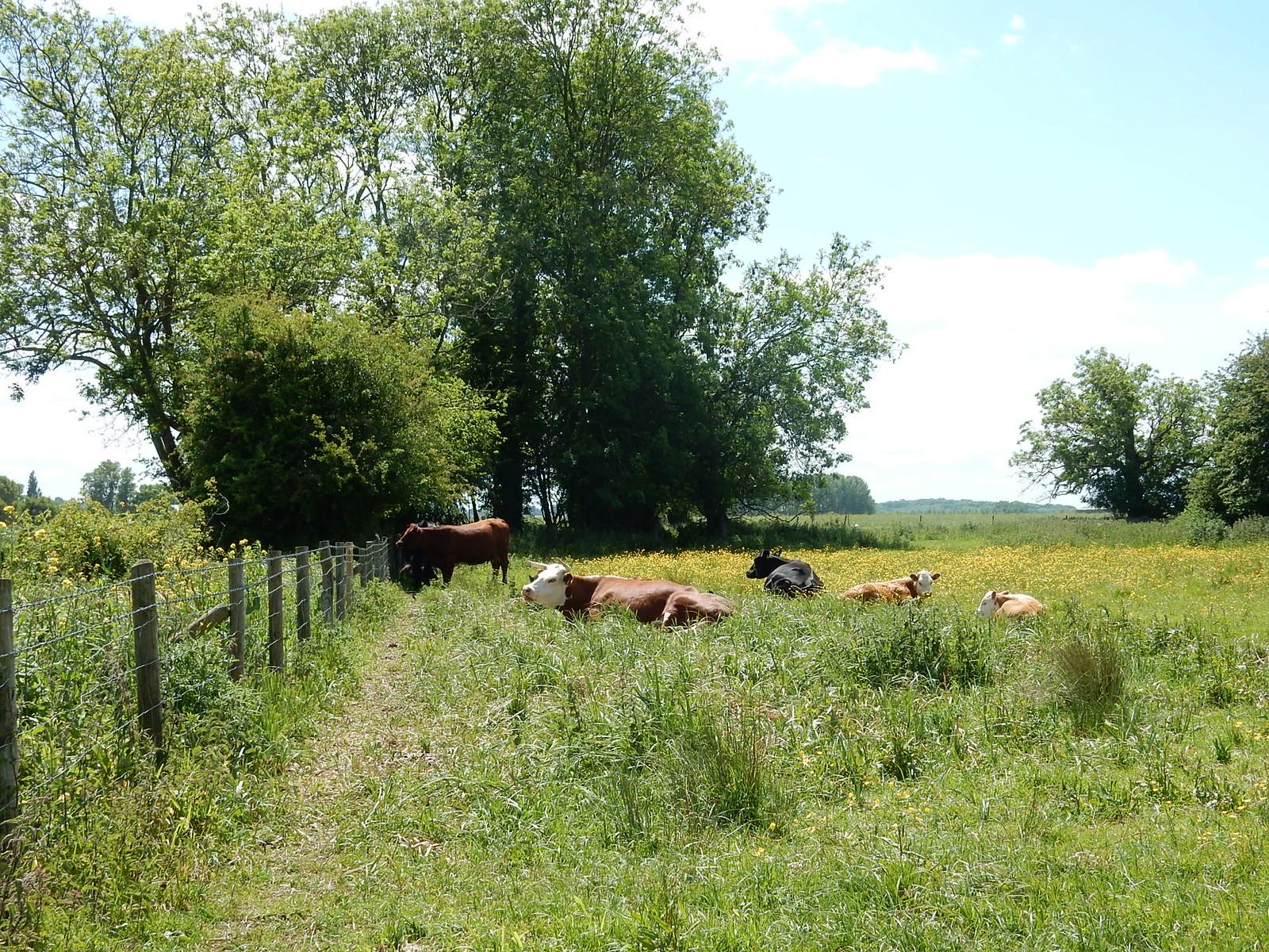 Cows lying down Didcot Circular