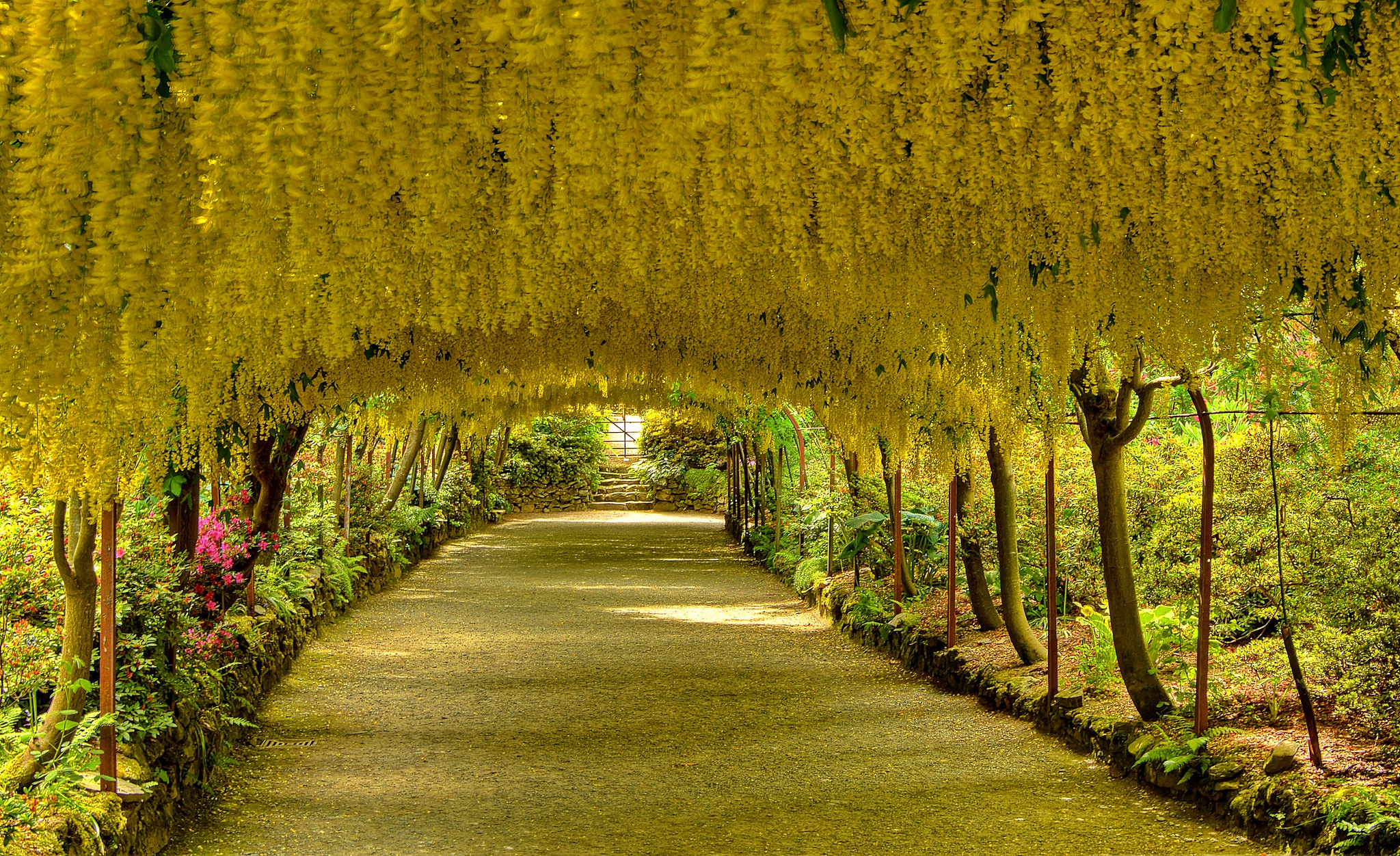 Outstanding Laburnum Arch In Bodnant Gardens North Wales  Pics With Gorgeous Laburnum Arch In Bodnant Gardens North Wales With Delectable Desperate Housewives Gardener Also Spring Gardens Post Office Opening Times In Addition Rooftop Garden New York And Small Garden Ideas Uk As Well As Garden Gnome Lore Additionally Garden San Antonio From Redditcom With   Gorgeous Laburnum Arch In Bodnant Gardens North Wales  Pics With Delectable Laburnum Arch In Bodnant Gardens North Wales And Outstanding Desperate Housewives Gardener Also Spring Gardens Post Office Opening Times In Addition Rooftop Garden New York From Redditcom