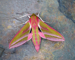 69.016 Elephant Hawk-moth - Deilephila elpenor