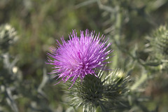flower(1.0), thistle(1.0), plant(1.0), macro photography(1.0), flora(1.0), silybum(1.0), artichoke thistle(1.0), close-up(1.0),
