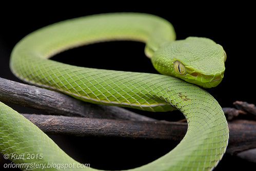 <i>Trimeresurus vogeli</i>_MG_0719 copy