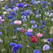 Corn Flower Meadow by Adam Swaine