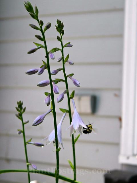 hosta flower 2
